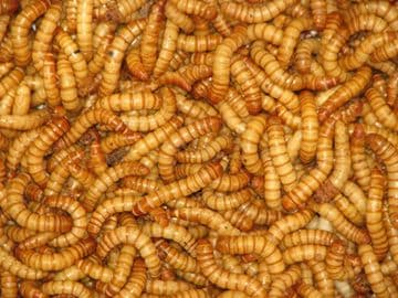 Livefood Reptiles - Mini Mealworms 55g Tub